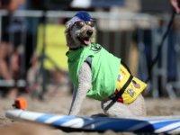 kutya-surf-1